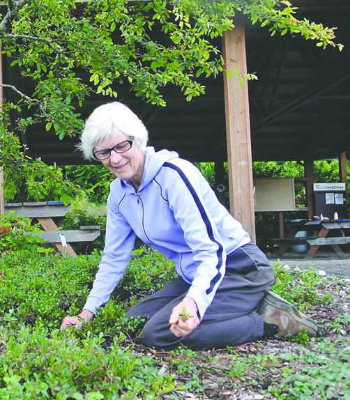 Linda Landkammer helps get the new arboretum ready for today's opening at H.J. Carroll Park in Chimacum. Charlie Bermant/Peninsula Daily News