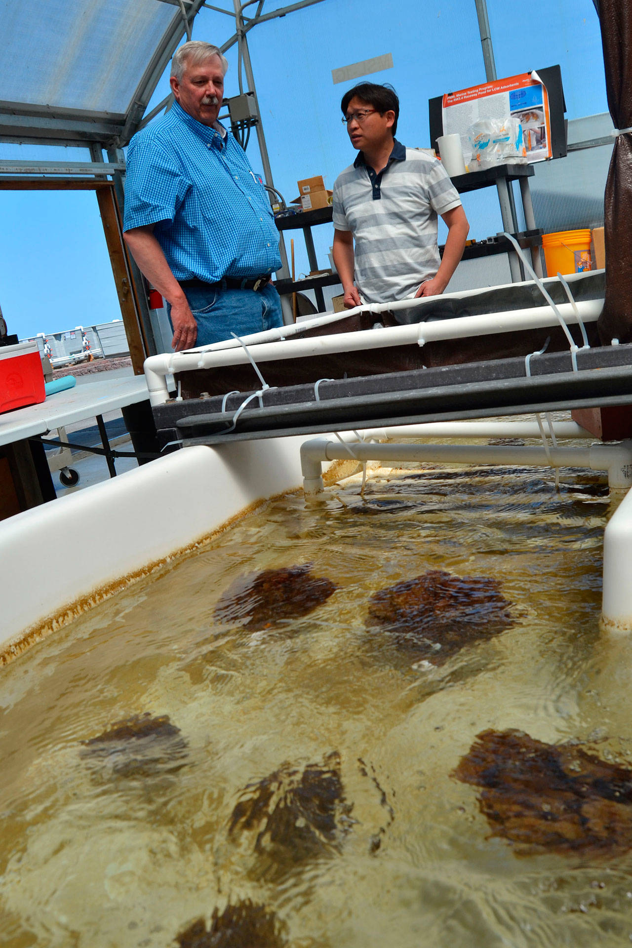 Sequim researchers Gary Gill, left, and Li-Jung Kuo stand over a tub of yarn bundles where seawater constantly streams onto them to see how much uranium from the ocean can be collected in a month. (Matthew Nash/Olympic Peninsula News Group)