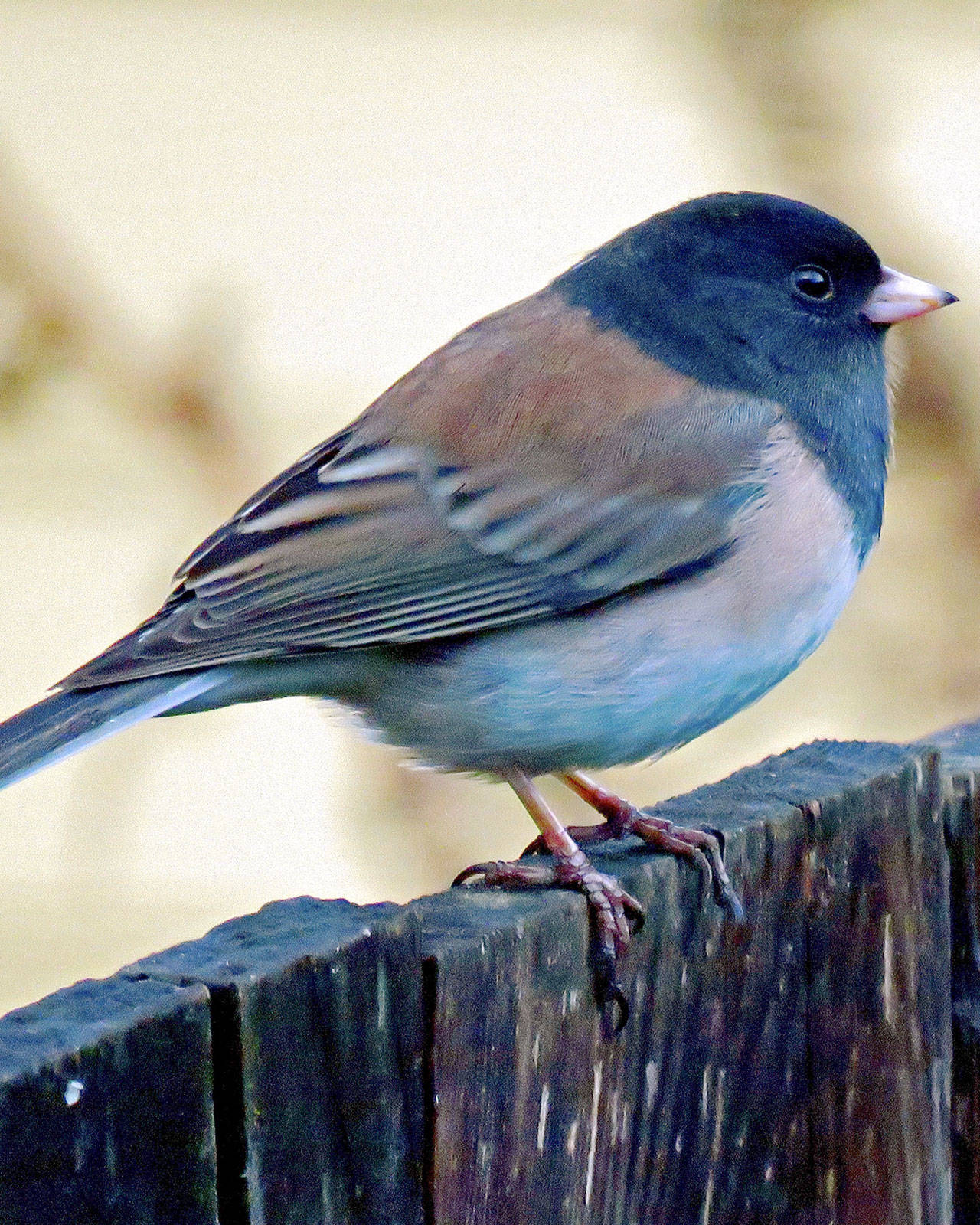 The dark-eyed junco is among the common birds NestWatch scientist Robyn Bailey urges local residents to follow. (Philip D. Lusk)