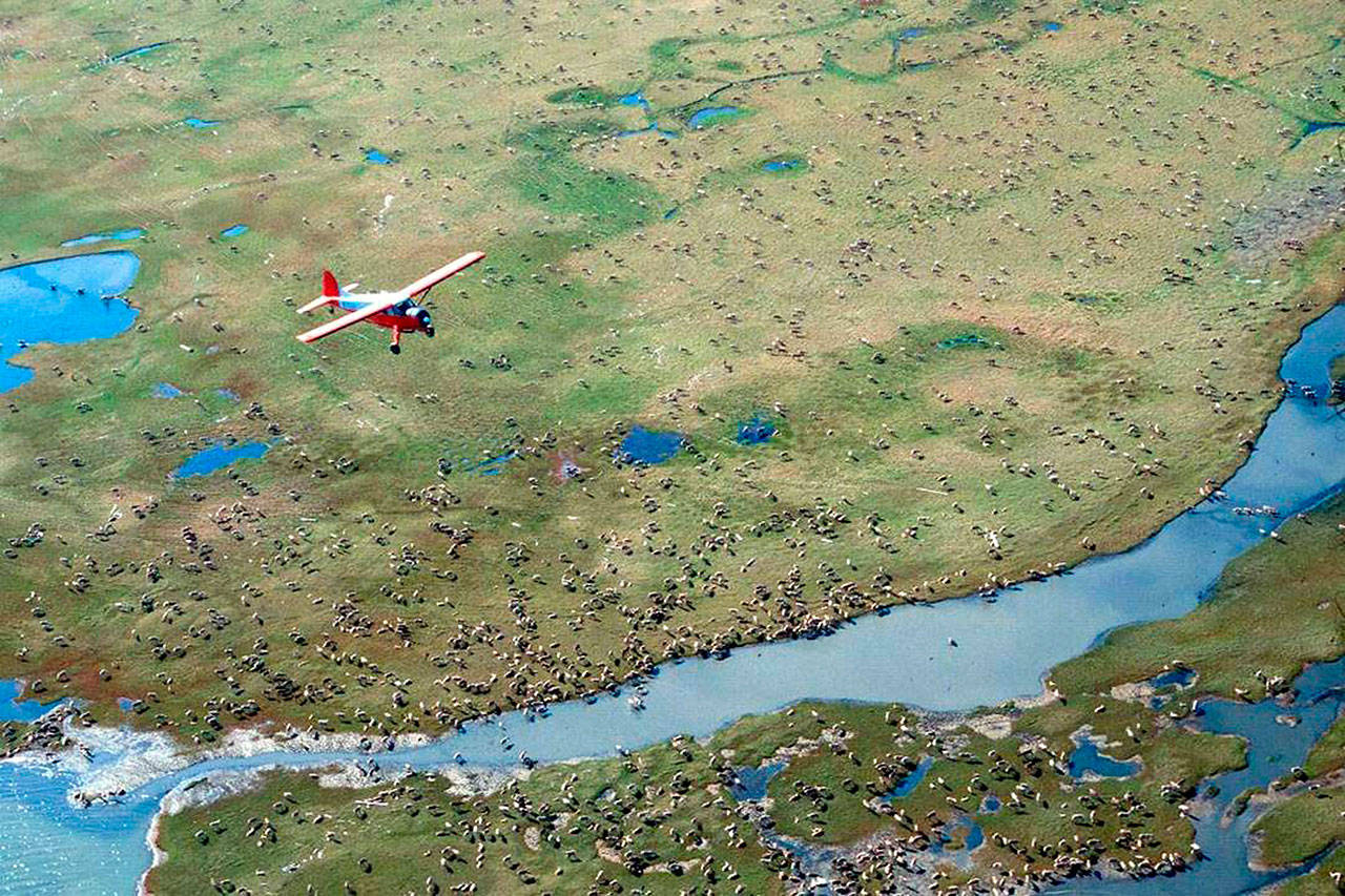 In this undated photo provided by the U.S. Fish and Wildlife Service, an airplane flies over caribou from the Porcupine Caribou Herd on the coastal plain of the Arctic National Wildlife Refuge in northeast Alaska.The Department of the Interior has approved an oil and gas leasing program within Alaska's Arctic National Wildlife Refuge. The refuge is home to polar bears, caribou and other wildlife. Secretary of the Interior David Bernhardt signed the Record of Decision, which will determine where oil and gas leasing will take place in the refuge's coastal plain. (U.S. Fish and Wildlife Service via AP)