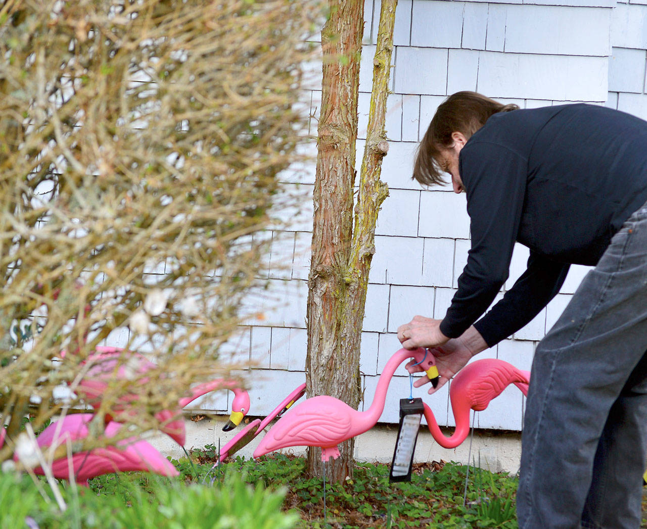 Bruce Cowan was flocked for the first time Tuesday night by the Port Townsend High School seniors, who are using flamingoes to fundraise for their Grad Night party. Wednesday morning, after discovering the birds, he slipped a donation into the pouch provided. (Diane Urbani de la Paz/Peninsula Daily News)