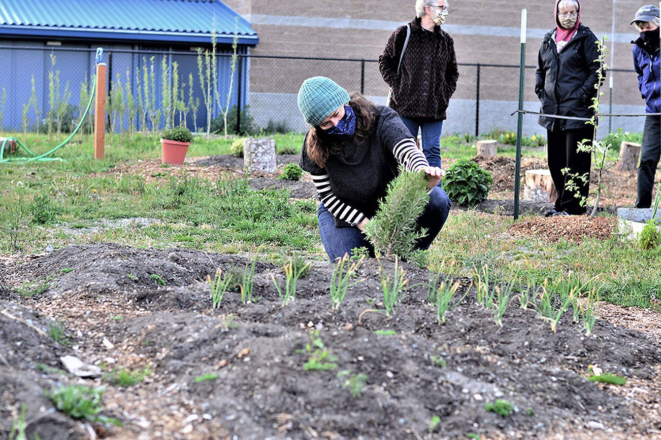 Community Wellness Project board member Shelby Smith checks on the rosemary in Chimacum School's pizza garden while a team of Jefferson County Master Gardeners — from left, Candice Gohn, Susan Sparks and Honey Niemann — explore the rest of the project Monday evening. (Diane Urbani de la Paz/Peninsula Daily News)