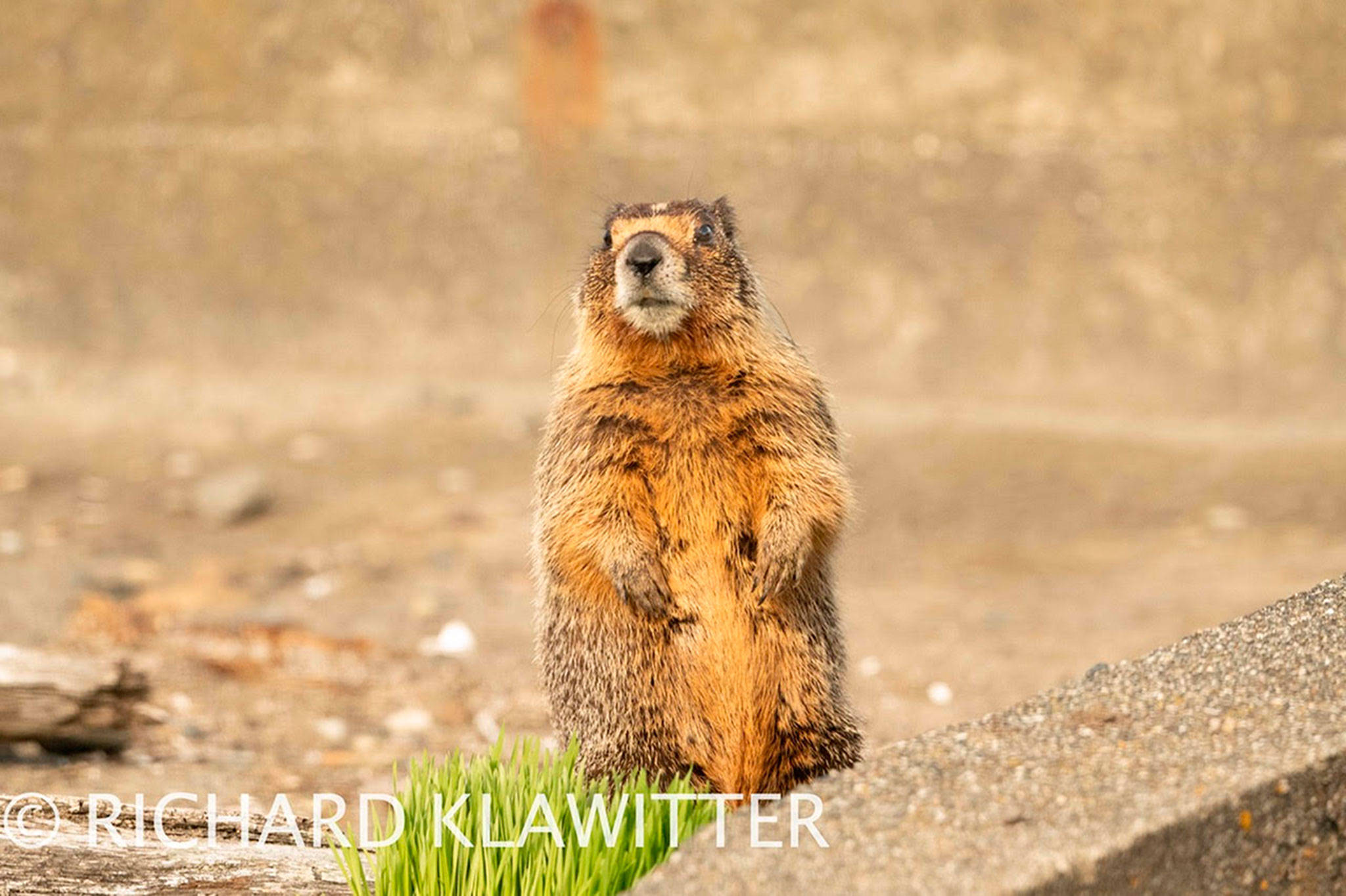 This yellow-bellied marmot now calls Sequim home after being spotted in the area in March. It's native to Eastern Washington and more arid climates. Photo courtesy Richard Klawitter