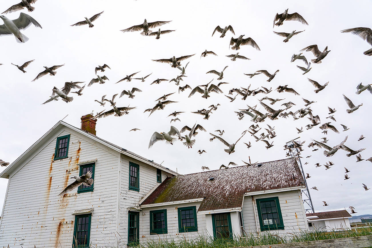 Scores of gulls fly off the roof of the lighthouse keeper's residence at Point Wilson on Wednesday at Fort Worden State Park. Pleasant temperatures are expected to continue thorugh the weekend. (Steve Mullensky/For Peninsula Daily News)